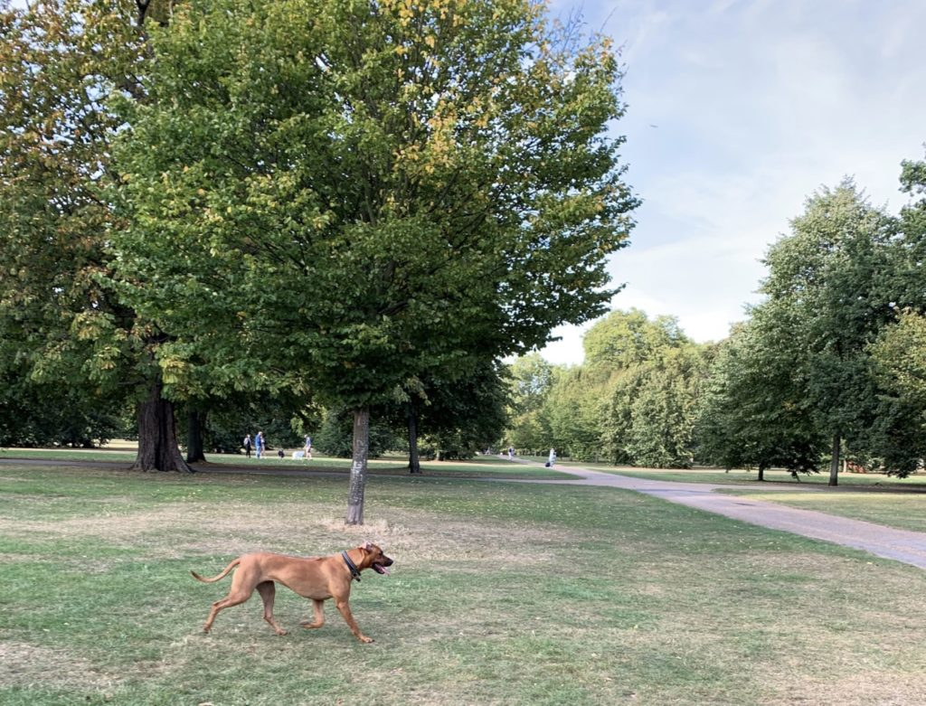 A healthy and happy dog walking in the park